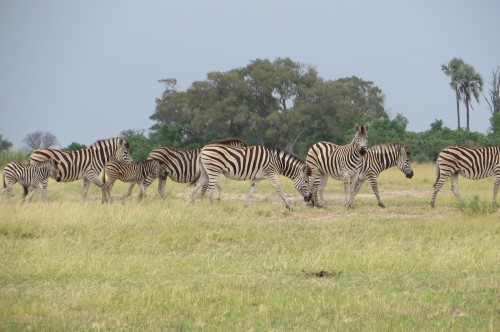 Zebra seen whilst in Moremi Game Reserve