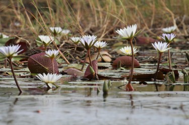 Water lillies as seen from a mekoro in the Okavango Delta